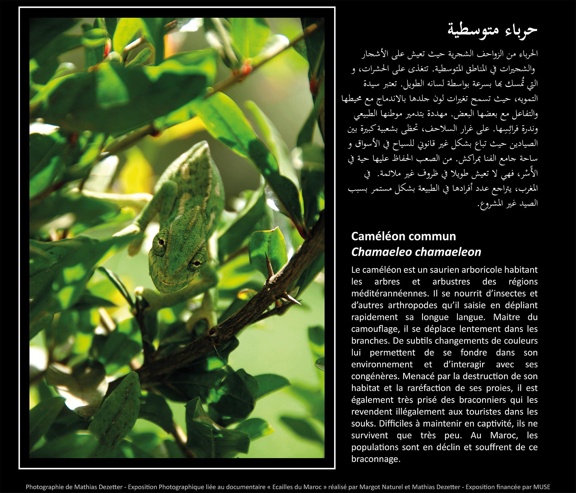 cameleon commun copie